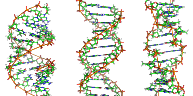 source https://en.wikipedia.org/wiki/DNA#/media/File:A-DNA,_B-DNA_and_Z-DNA.png
